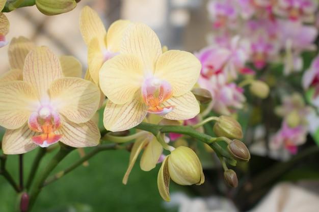 Fleur de phalaenopsis ange au crépuscule