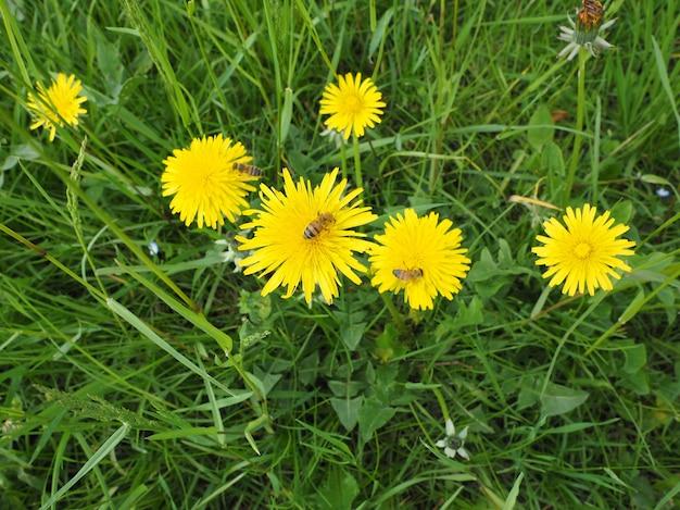 Fleur De Pissenlit Commun Avec Abeille Photo Premium