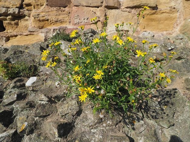 Fleur de pissenlit commun jaune