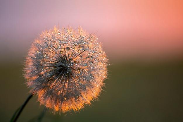 Fleur de pissenlit avec des gouttes de rosée du matin. nature et botanique florale