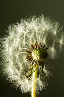Fleur de pissenlit gros plan