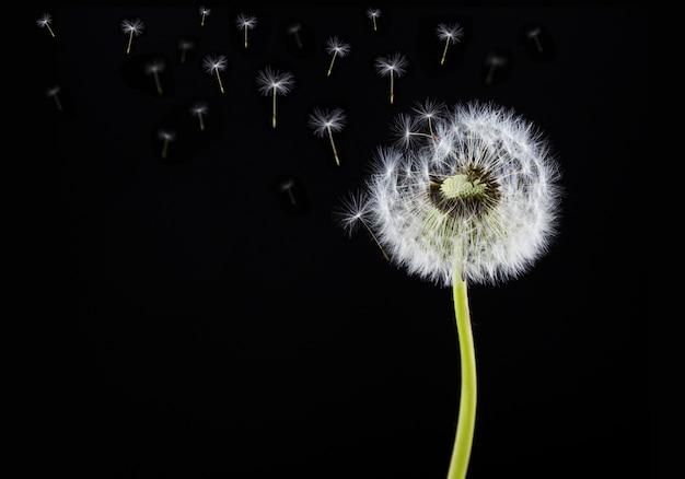 Fleur de pissenlit isolée sur fond noir