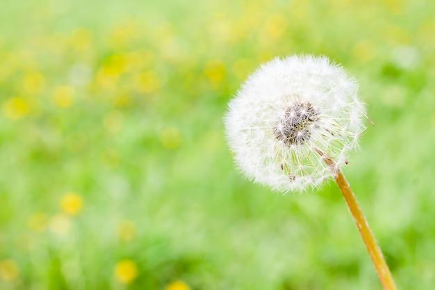 Fleur de pissenlit moelleux blanc sur fond d'herbe floue.
