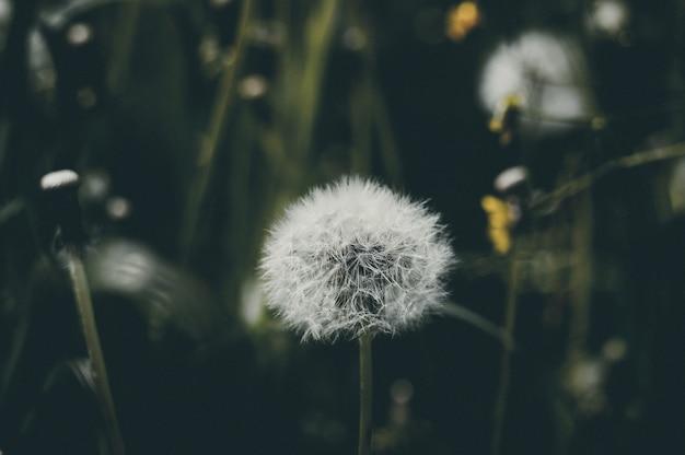 Fleur de pissenlit, naturel
