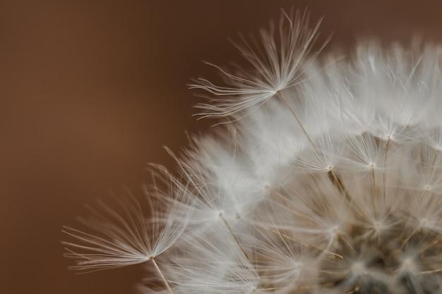 Fleur de pissenlit se bouchent. silhouette sur fond brun foncé. copiez l'espace pour le texte