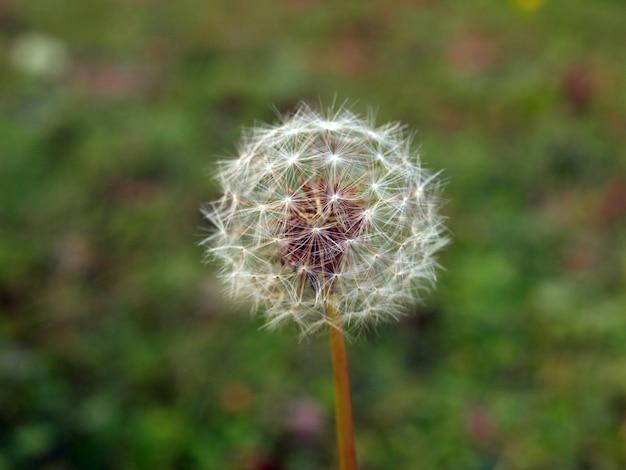 Fleur de pissenlit (taraxacum officinale)