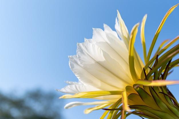 Une fleur de pitaya aux pétales blancs et aux étamines jaunes en pleine floraison