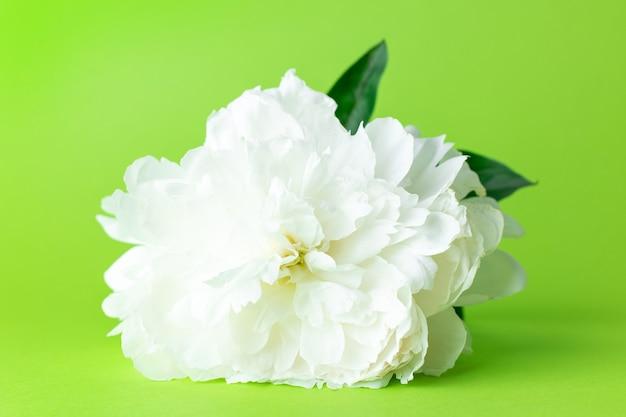 Fleur de pivoine blanche en fleurs