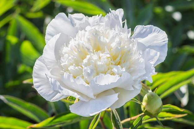 Fleur de pivoine blanche
