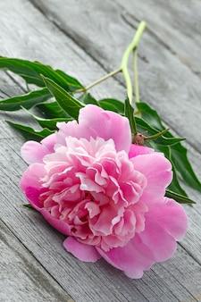 Fleur de pivoine en fleurs roses sur le fond des vieilles planches avec texture. la plante est photographiée en gros plan.