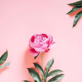 Une fleur de pivoine en pleine floraison de couleur rose vif isolée sur fond rose pâle. mise à plat, vue de dessus, espace pour le texte. carré