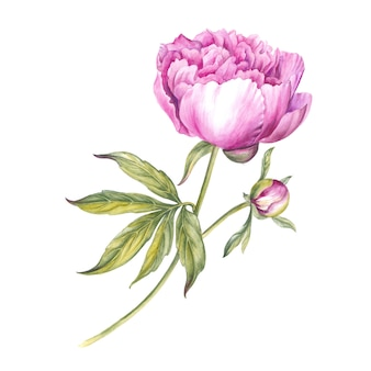Fleur de pivoine rose. illustration aquarelle