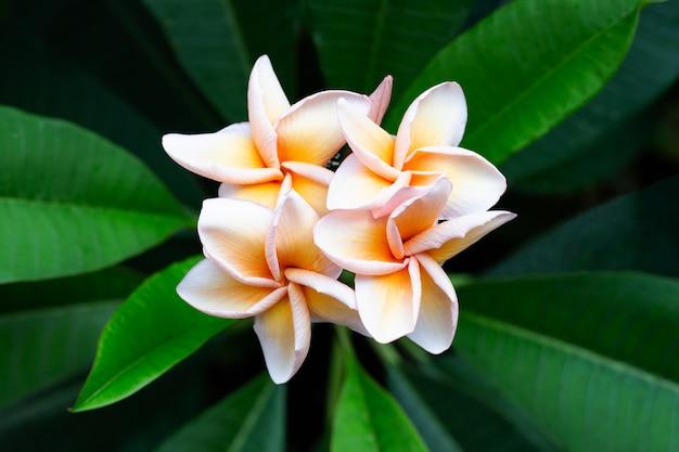 Fleur de plumeria aux feuilles vertes