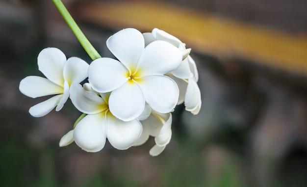 Fleur de plumeria blanc