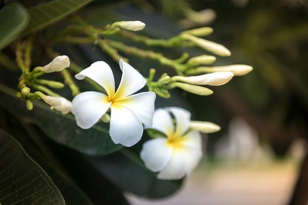 La fleur de plumeria fleurit le matin