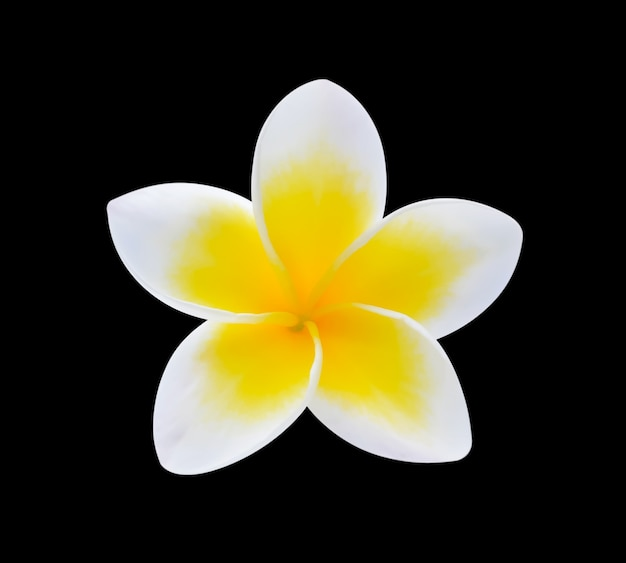 Fleur de plumeria sur fond noir.