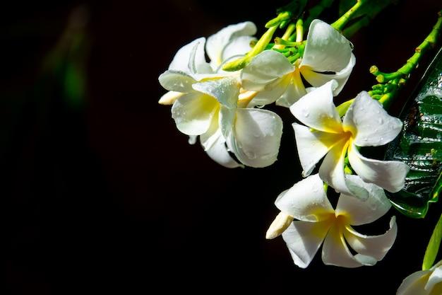 Fleur de plumeria sur fond noir