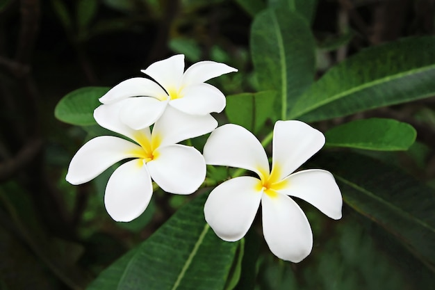 Fleur de plumeria (frangipanier)