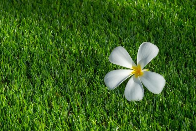 Fleur de plumeria sur l'herbe