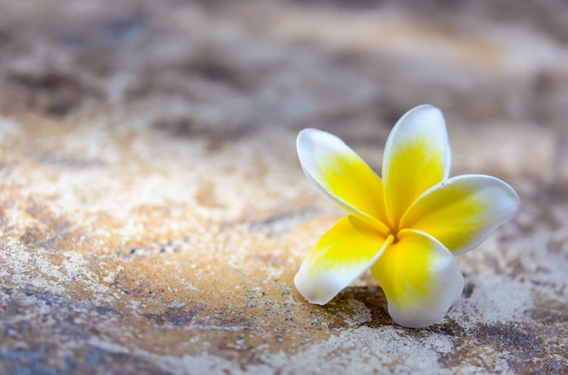 Fleur de plumeria sur pierre marron