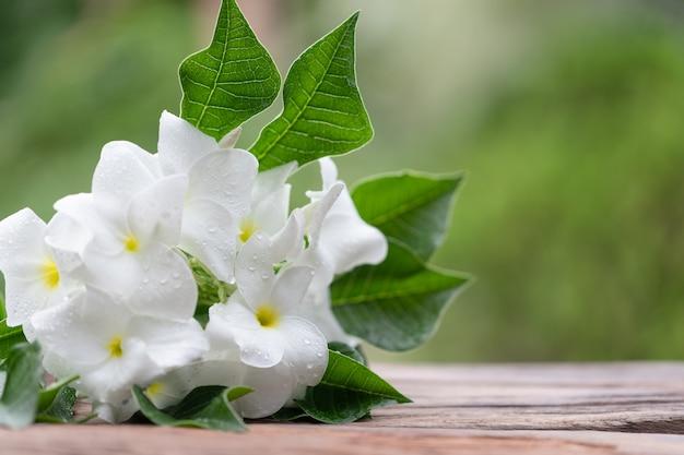 Fleur plumeria pudica jacq blanche avec des gouttes d'eau.