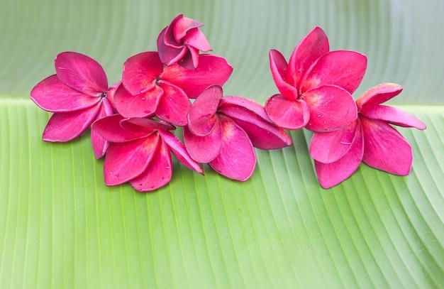 Fleur de plumeria rouge-violet sur feuille de bananier vert