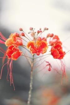 Fleur de poinciana une plante populaire à la barbade également connue sous le nom de fleur de paon et de caesalpinia