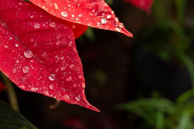 Fleur de poinsettia rouge, euphorbia pulcherrima avec des gouttes de rosée