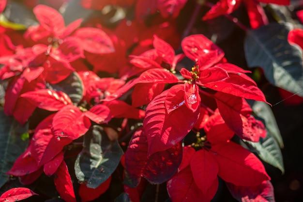 Fleur de poinsettia rouge ou euphorbia pulcherrimaon de fond rouge de noël dans le jardin.