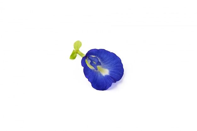 Fleur de pois de papillon sur fond blanc isolé