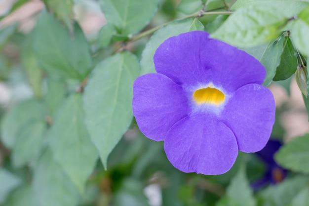 Fleur de pois de papillon violet