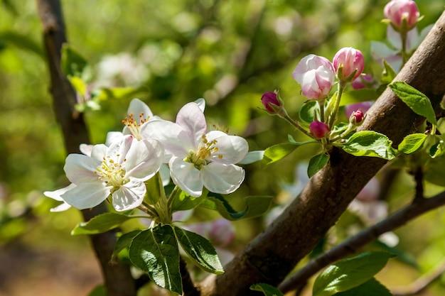 Fleur de pommier au printemps. pomme en fleurs sur fond nature, fleurs de printemps