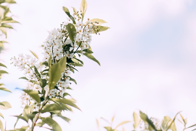 Fleur de pommier au printemps va fleurir