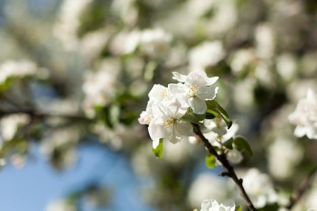 Fleur de pommier sur la nature