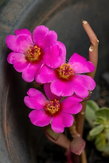 Fleur pourpier du paraguay de l'espèce portulaca amilis
