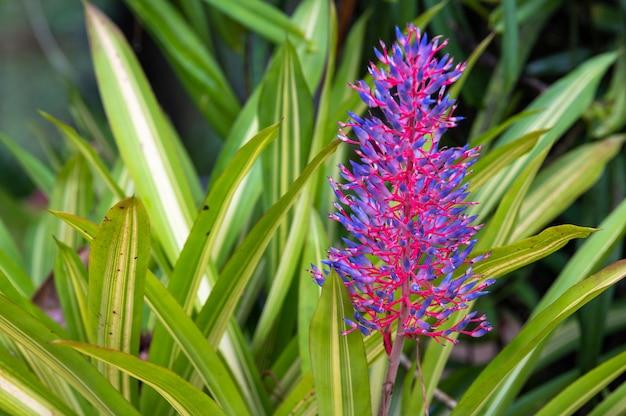 Fleur pourpre de aechmea fasciata avec feuilles