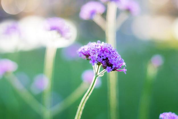 Fleur pourpre avec belle au soleil dans la forêt.