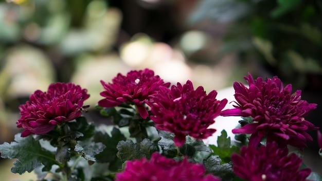 Fleur pourpre de chrysanthème en pot