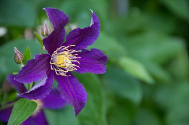 Fleur pourpre de clématite-ranunculaceae. grande fleur violette sur fond vert.