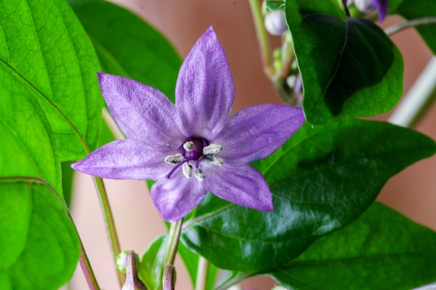 Fleur pourpre de la macrophotographie en gros plan de piment amer à l'intérieur