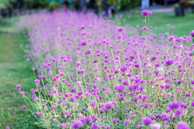 Fleur pourpre sur la pelouse.