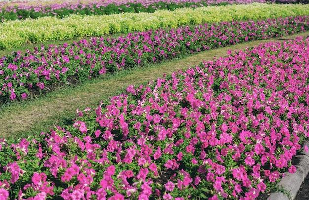 Fleur pourpre sur la plantation.