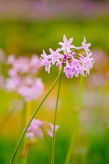Fleur pourpre de plus en plus dans le jardin et flou fond