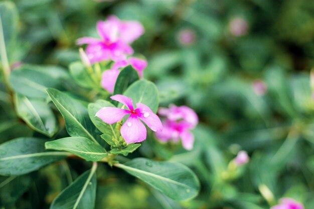 Fleur pourpre en saison des pluies.