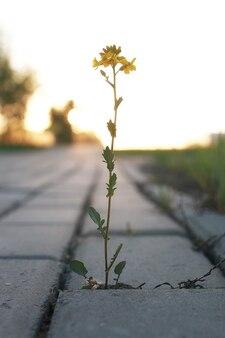 Fleur poussant à travers le pavé gris au coucher du soleil