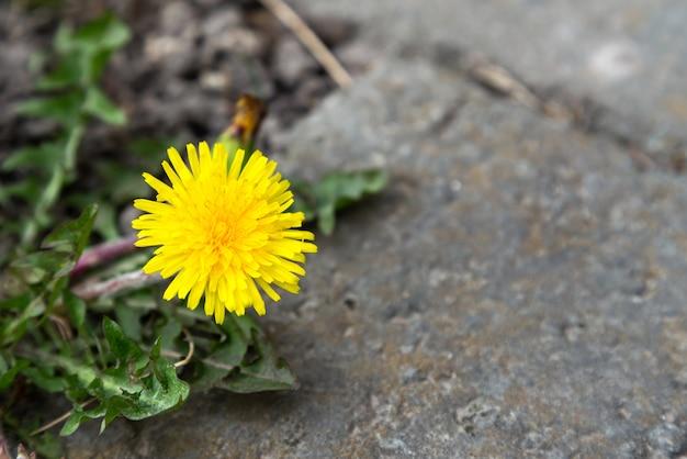 La fleur pousse à partir d'une pierre