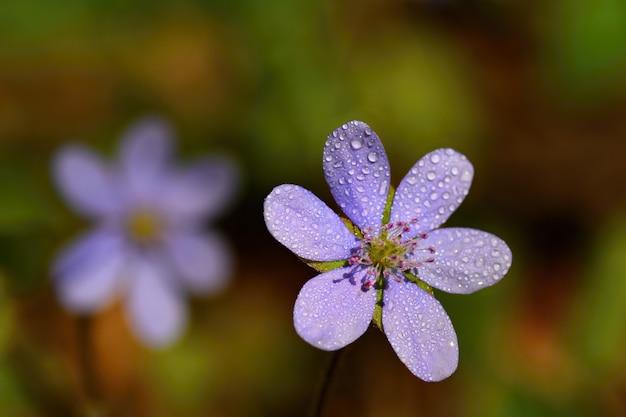 Fleur de printemps. belle première floraison petites fleurs dans la forêt. hepatica. (hepatica nobilis)