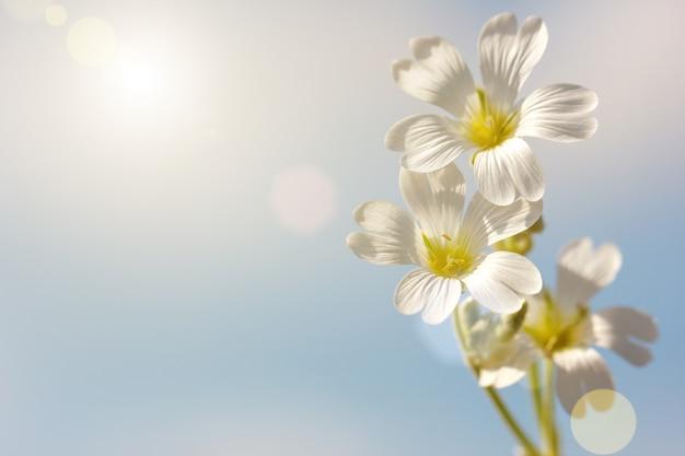 Fleur de printemps blanc sur fond de ciel bleu