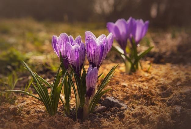 Fleur de printemps délicate et lumineuse en gouttes de rosée