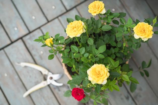 Fleur de printemps d'été. rose colorée dans le pot par journée ensoleillée